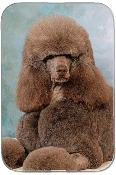 POODLE STANDARD CHOCOLATE