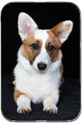 WELSH CORGI CARDIGAN LYING DOWN
