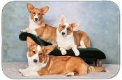 WELSH CORGI CARDIGAN TRIO