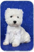 WESTIE BLUE BACKGROUND