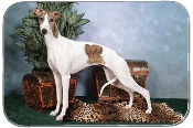 WHIPPET WITH CHEST