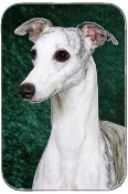 WHIPPET WITH GREEN BACKGROUND