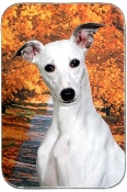 WHIPPET WITH FALL BACKGROUND
