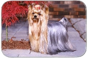YORKSHIRE TERRIER ON STREET